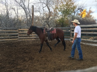 Saddling Chief for the first time.